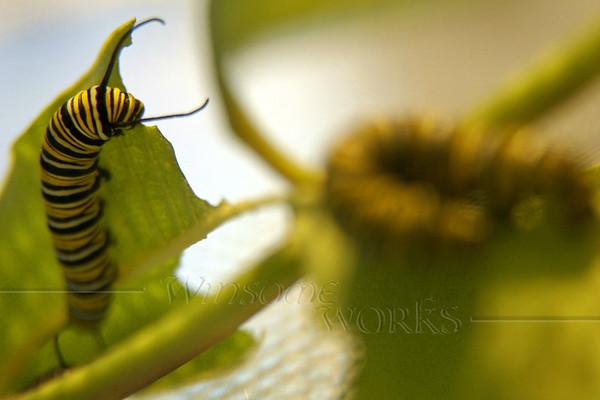 Munching milkweed