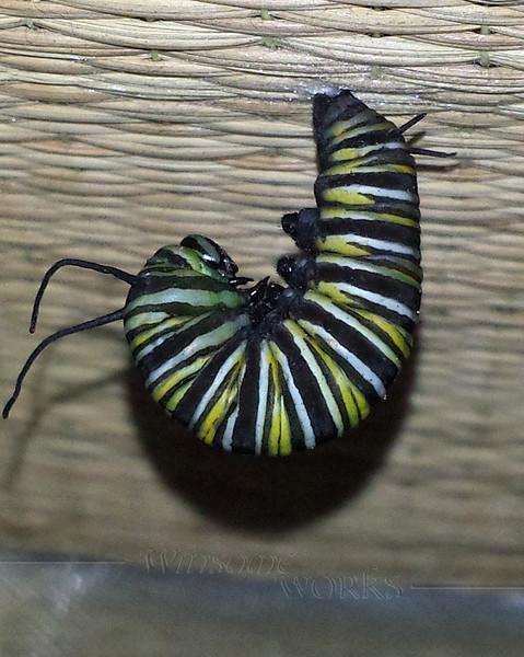 """Monarch caterpillar making a """"J"""" (beginning pupation)"""