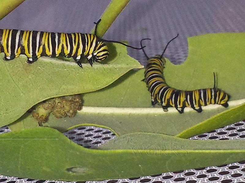 Monarch caterpillars  on milkweed