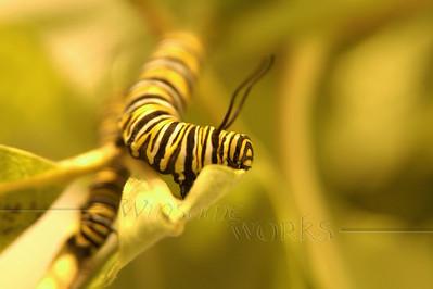 Monarch caterpillars munching milkweed