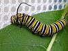 Monarch caterpillar munching milkweed