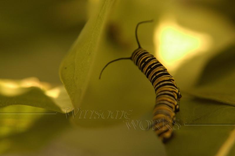 Monarch caterpillar on milkweed