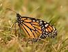 Monarch baby-steps