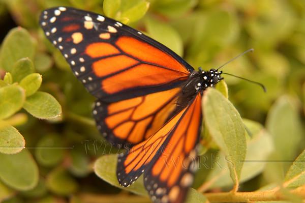 Monarch just through metamophosis - gathering strength in a bush