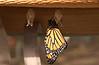 Newly-emerged Monarch with 2 empty chrysali