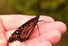 Metamorphosis complete - Monarch drying wings