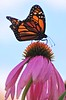 Male monarch on echinacea from below