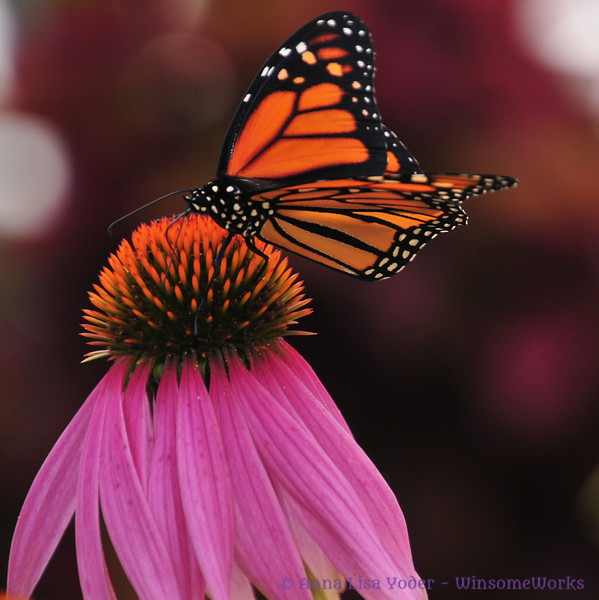 Male monarch on echinacea