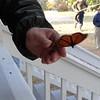 Monarchs  tagging  St. Marks  migration