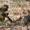 Baboons and mongoose love to travel together. They eat different foods, so there's no competition, but they can help each other watch out for predators.