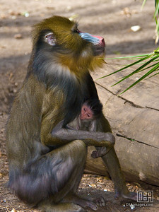 Mother and baby mandrill (Mandrillus sphinx)