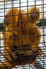 Baby Golden Lion Tamarin