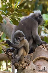 Dusky Leaf Monkey (Langur) (Semnopithecus obscurus)