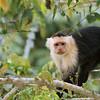 Capuchin Monkey, Rio Frio Costa Rica