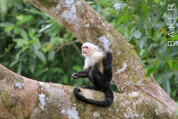 White-Throated Capuchin Monkey Cano Negro Costa Rica