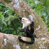 White-Throated Capuchin Monkey Cano Negro Costa Rica