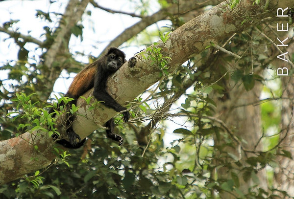 Sleeping Howler Monkey, Costa Rica