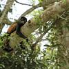 Sleeping Howler Monkey, Costa Rica