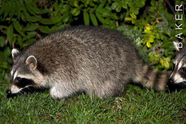 Mont Royal Raccoons