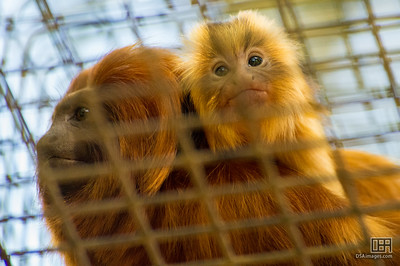 Baby Golden Lion Tamarin
