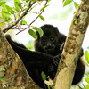 Juvenitle Howler Monkey, Cano Negro Costa Rica