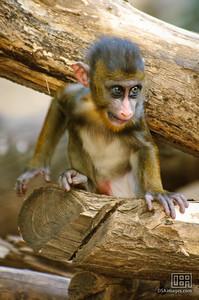 2.5 month old baby mandrill (Mandrillus sphinx)