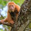 Mutated Orange Howler Monkey and Baby ,Cano Negro Costa Rica