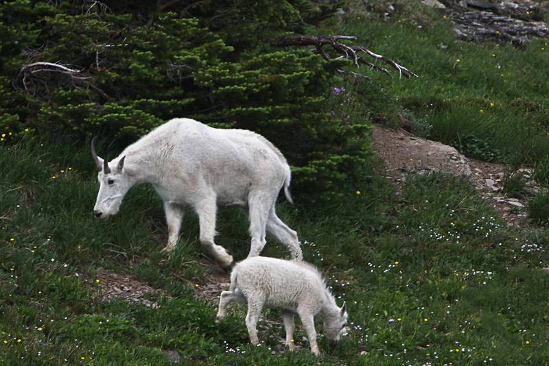 Mountain Goats in Glacier Park, MT