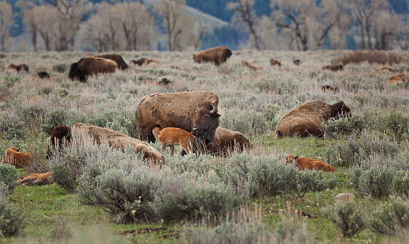 Bison. All these Moms and calves were hanging out outside of Jackson Wyoming.