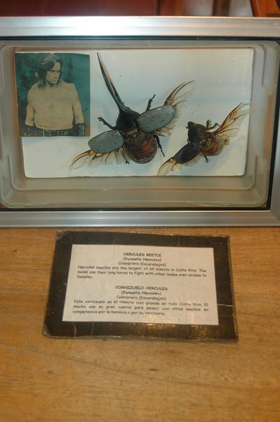 The Hercules beetle (mounted)