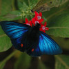 The Famous Blue Morpho of Costa Rica