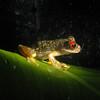 Red-eyed stream frog.