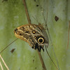 "The appropriately named ""Owl Butterfly"""