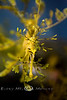 A Face Only a Mother Could Love - Leafy Sea Dragon at the Monterey Bay Aquarium - Photo by Pat Bonish