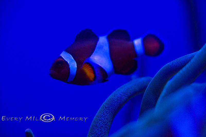 The Most Famous of Fish - Clown Fish at the Monterey Bay Aquarium - Photo by Pat Bonish