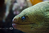 Morray Eel at the Monterey Bay Aquarium - Photo by Pat Bonish