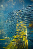 Schools of Sardines in the Kelp Beds at the Monterey Bay Aquarium - Photo by Pat Bonish