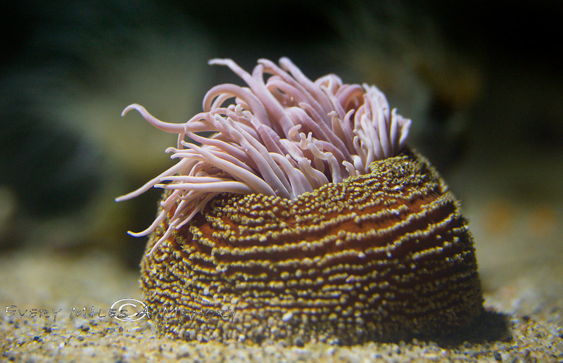 Trunk of a Sea Anemone at the Monterey Bay Aquarium - Photo by Pat Bonish