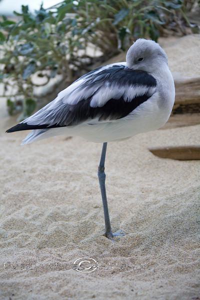 One Legged Bird in the Aviray of the Monterey Bay Aquarium - Photo by Pat Bonish