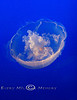 Moon Jelly Floating in the Monterey Bay Aquarium - Photo by Cindy Bonish