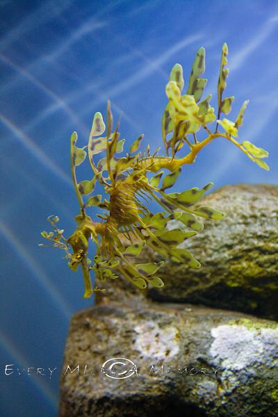 Leafy Sea Dragon - Montery Bay Aquarium - Photo by Pat Bonish