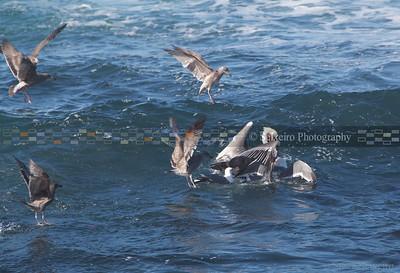 Seagull attack.