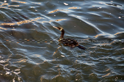 Cormorant in the morning, looking for breakfast.