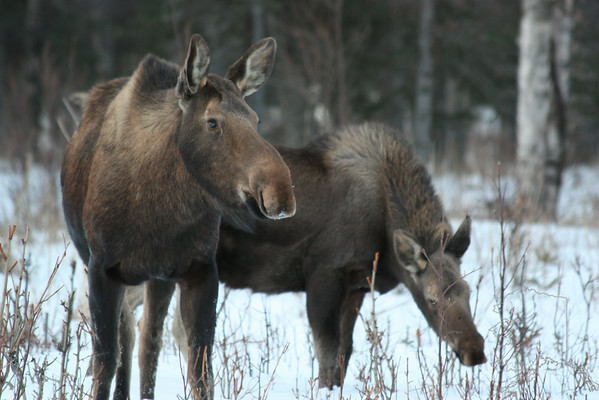 Cow Moose and a young Bull that has lose his horns. They regrow them every year.