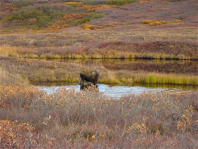 Cow moose in Denali National Park