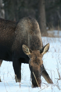 Young Bull Moose that has lost his horns.