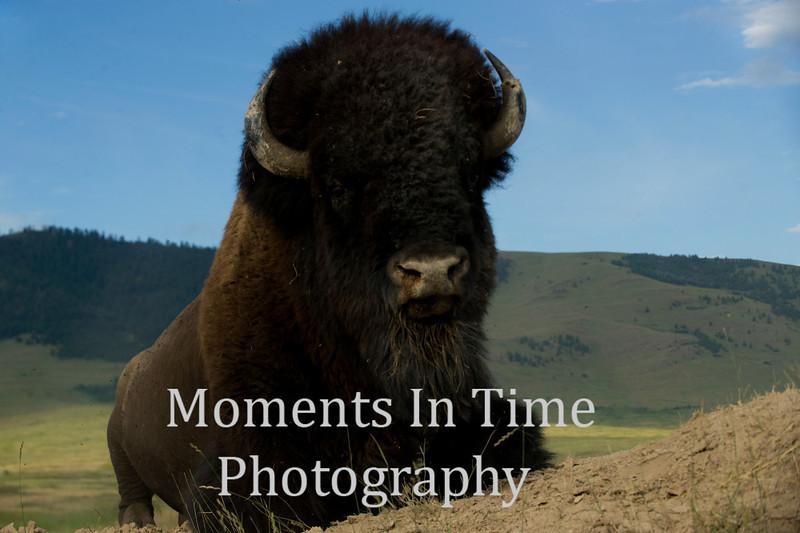 Bison bull resting