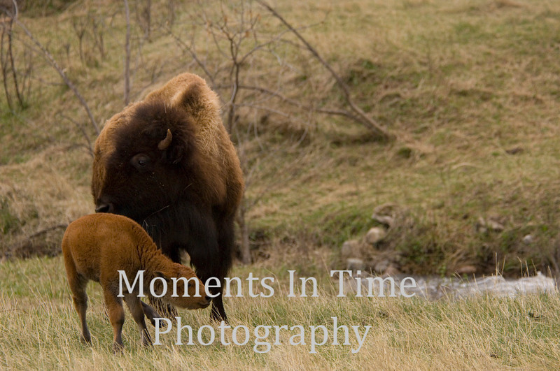 Bison with calf 3