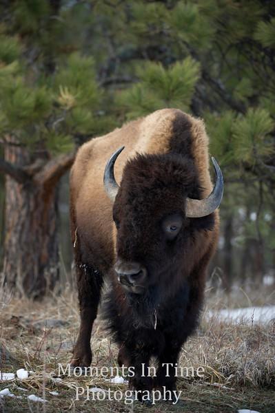Bison American