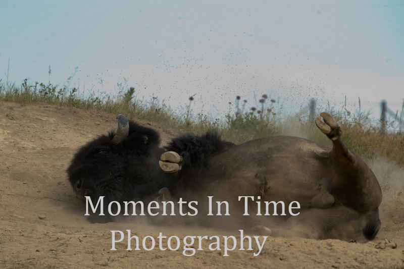 Bison bull rolling in dirt
